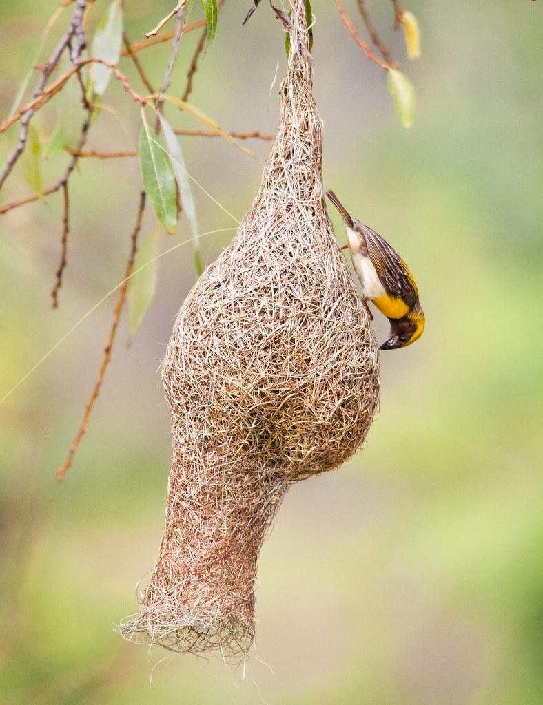 Baya Weaver Bird Building Nest Frozen Stills Flickr