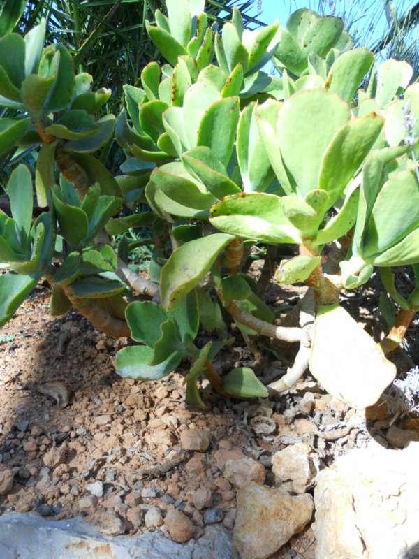 Echeveria gibbiflora v 3
