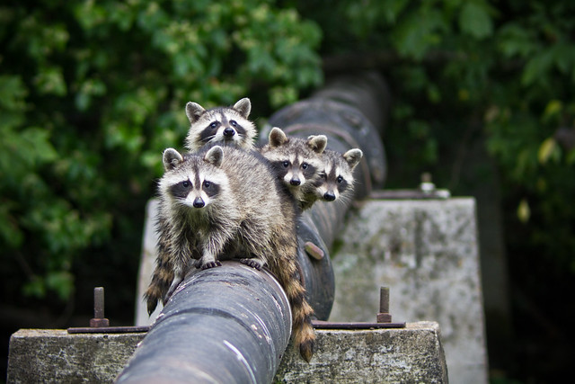 Discovery Center Raccoons