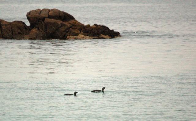 Red-throated divers, A-Chroic beach, Coll