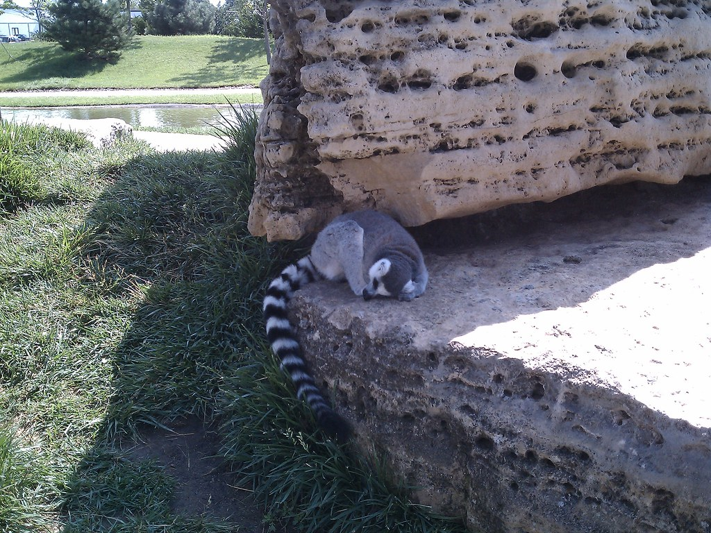 Tanganyika wildlife park - Goddard KS | Ringtail taking a ca… | Flickr