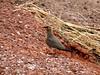 Collared Pratincole or Common Pratincole (Glareola pratincola) by Abubakr Mohammad