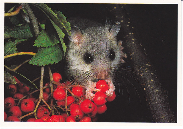 Field Mouse Postcard