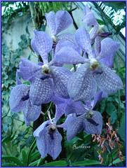 DSC02039 Orchidee