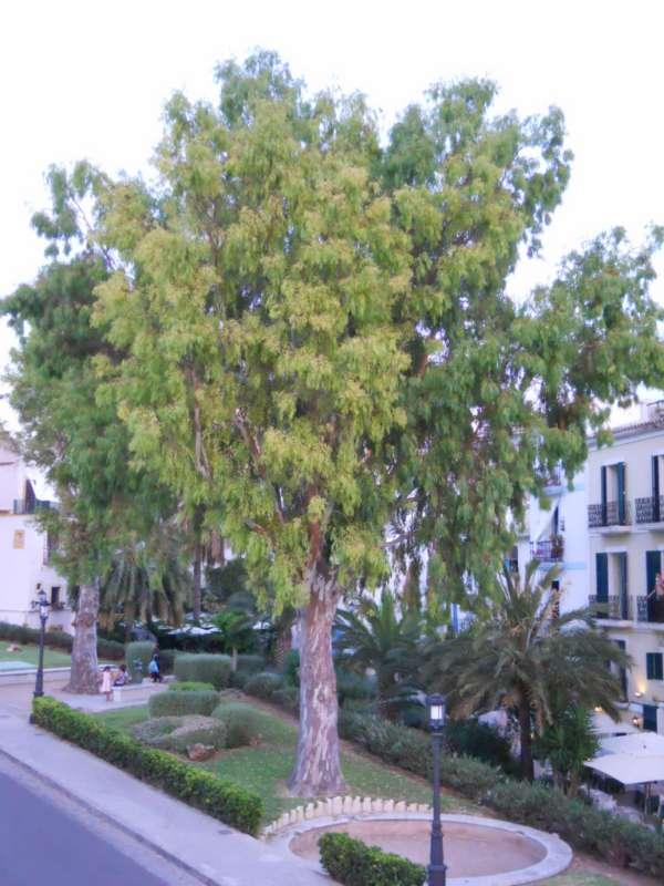 Eucalyptus camaldulensis v 2