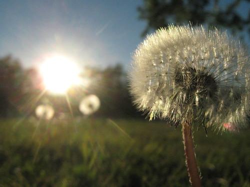 blue sky grass dandelion flare wish sooc wormseyeviewsunday hwevs pointandshootifyoucanbelieveit