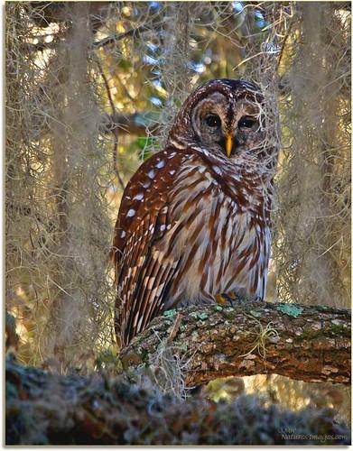 birds closeup wildlife parks 100400mm raptors owls professionalphotographer birdsofprey stateparks oldflorida floridaimages barredowls lakekissimmee floridastateparks photoworkshops phototourguide