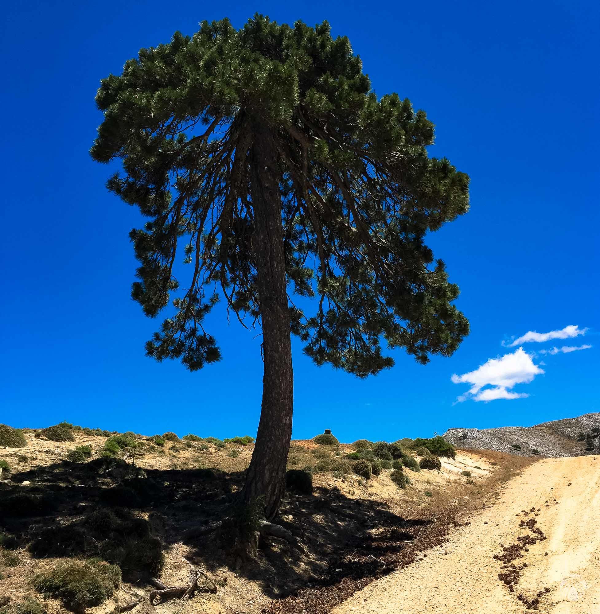 Pino solitario en la zona de cumbres