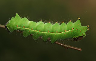 Indian moon moth (Actias selene) caterpillar, 5th instar | by Deanster1983 who's mostly off