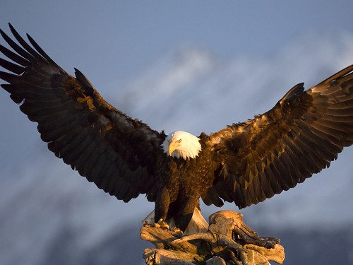 Strong eagle | by changehali