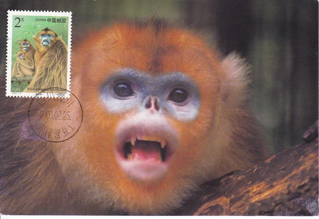 China Maxi Golden Monkey Postcard