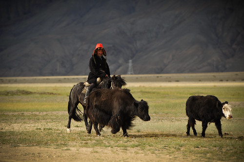 Mongolian Man Herding Cows | by goingslowly