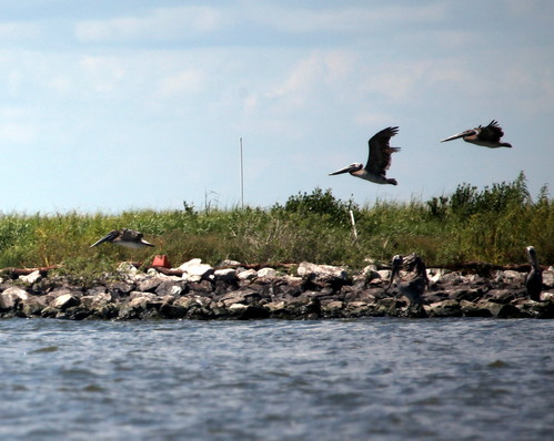 brown pelicans flying at queen bess 715 | by USFWS/Southeast