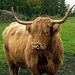Domestic Cattle - Photo (c) kostolany244, some rights reserved (CC BY-NC)