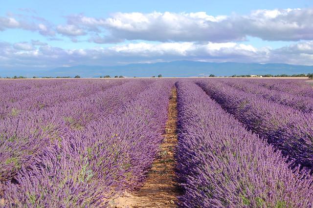 A perte de vue - Valensole (Alpes-de-Haute-Provence)