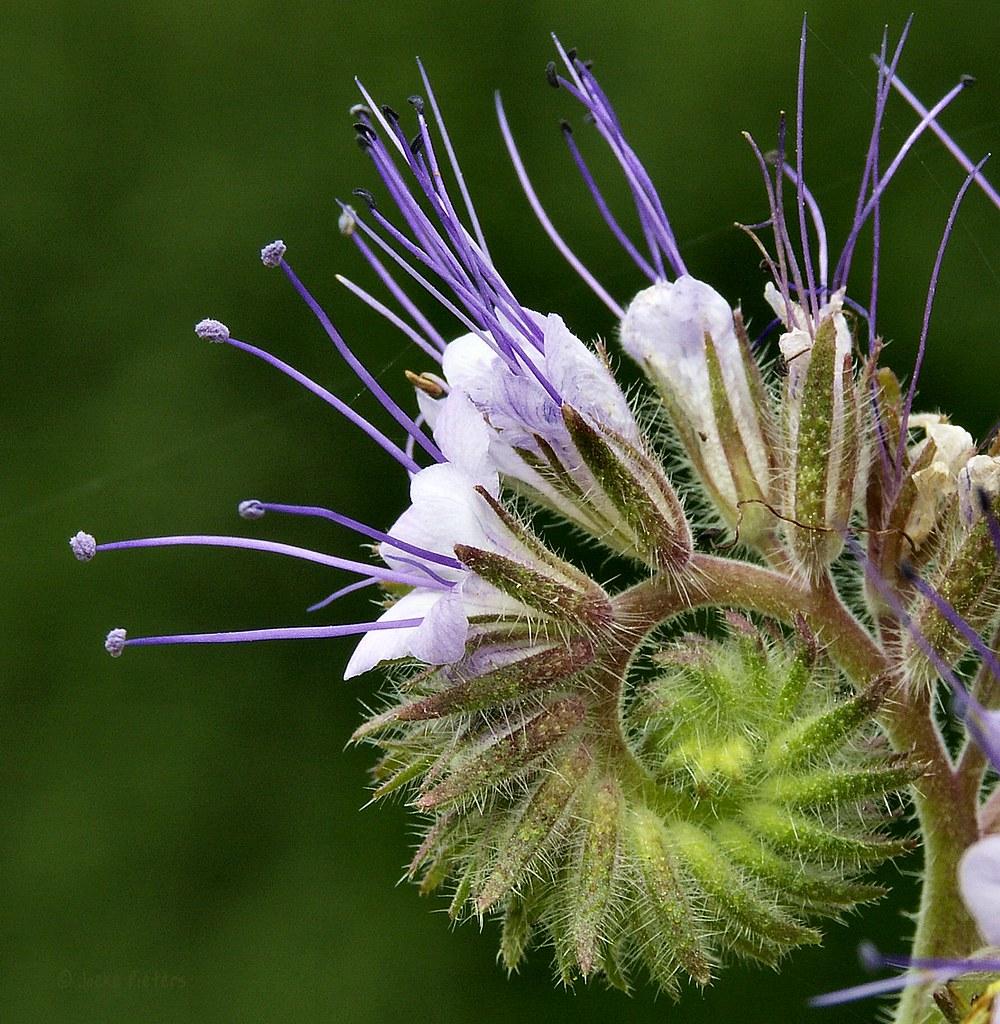 Flower pretending to be a caterpillar..... by joeke pieters