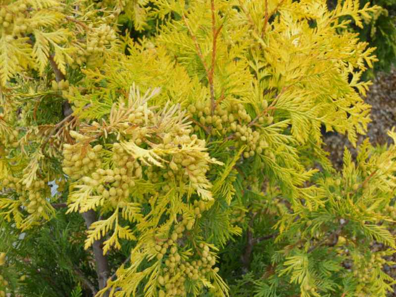 Thuja occidentalis 'Yellow Ribbon' 2