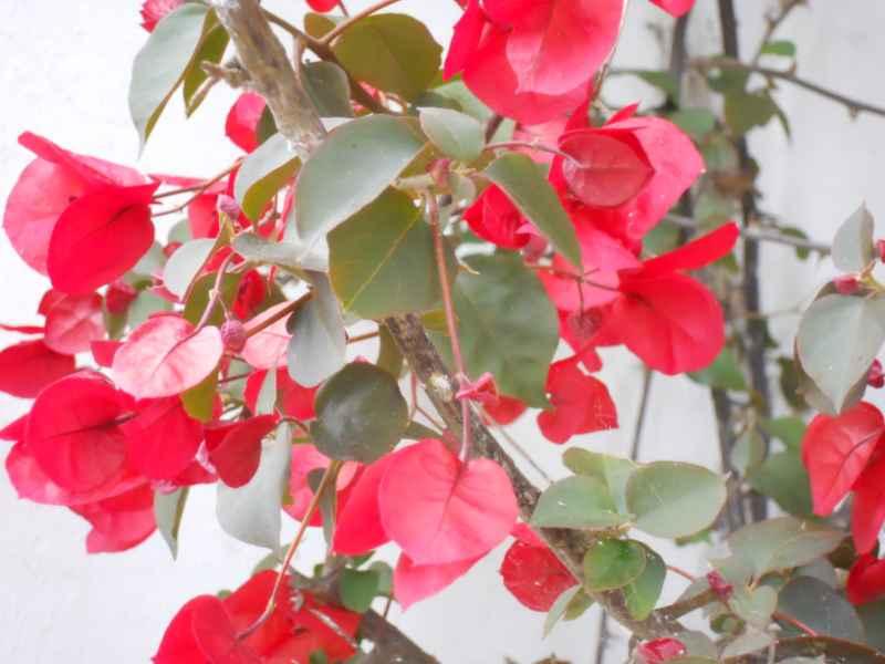 Bougainvillea hybrida 'Formosa' 3