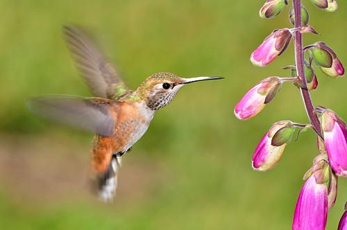california bird hummingbird westport hummer johnk d5000 howardcreekranch johnkrzesinski randomok