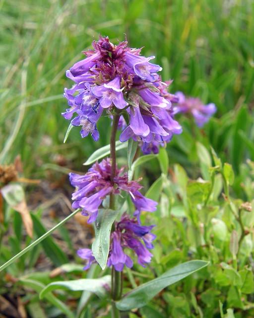 Wildflower of the Sub-Alpine
