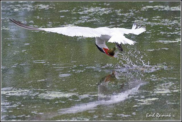 20100821-0488 Caspian Tern