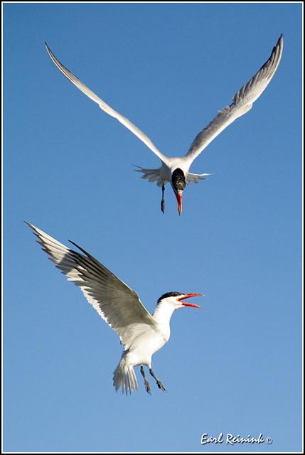 20100826-0981 Caspian Tern