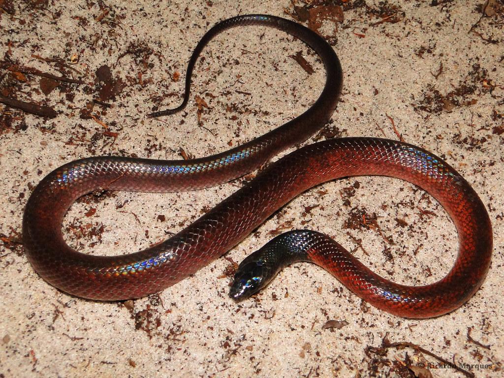 Pseudoboa nigra jovem