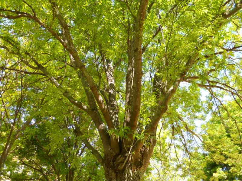 Ailanthus altissima copa 3