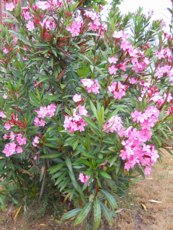 Nerium oleander 'Soleil Levant' v 1