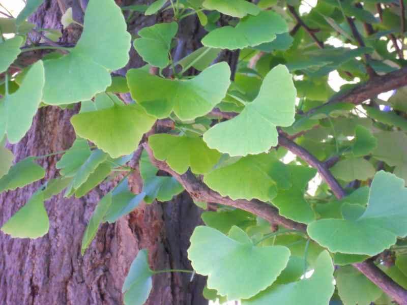 Ginkgo biloba hojas 3