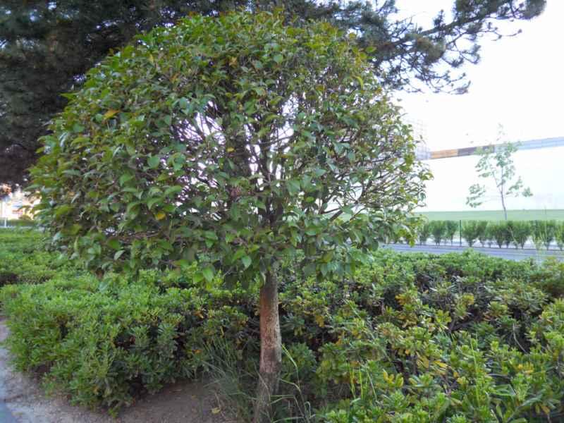 Ligustrum lucidum árbol 5