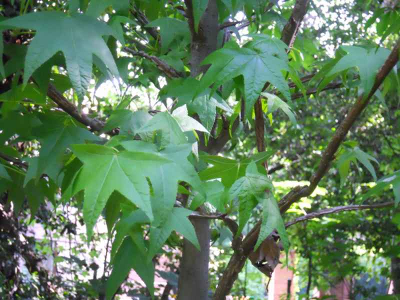 Liquidambar styraciflua hojas 3