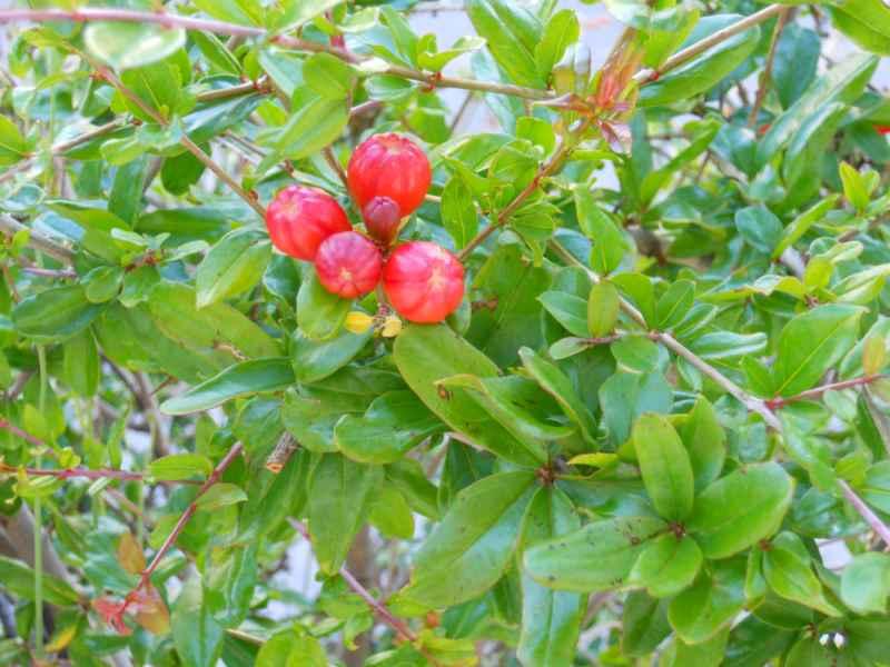 Punica granatum 'Nana' fruto 2