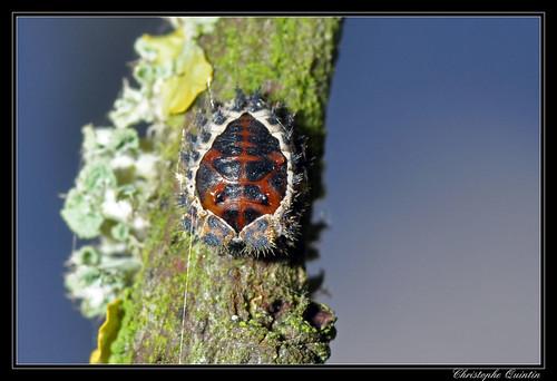 Nymphe de Brumus quadripustulatus (Coccinelle à 4 taches)