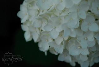Hydrangea2 | by {every}nothing wonderful