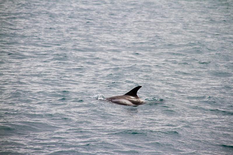 Delfín de hocico blanco
