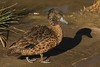 A male Chestnut Teal Anas castanea in eclipse plumage by Andy Burton Oz