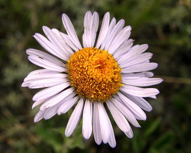 Thread-Leaved Daisy