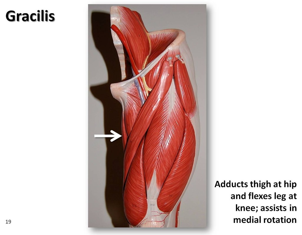 Gracilis - Muscles of the Lower Extremity Anatomy Visual A
