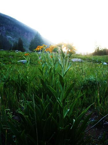 flowers sunset daisies
