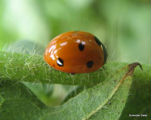 lady ladybeetle ipm biocontrol coccinellaseptempunctata farmersfriend beneficialinsects cropprotection mealybugcontrol naturalcontrol nonpesticidalcontrol nandgarh