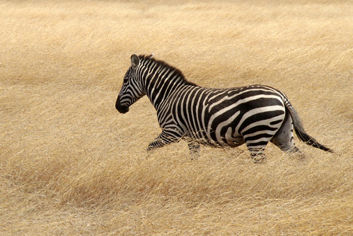 Common Zebra | by valentinastorti