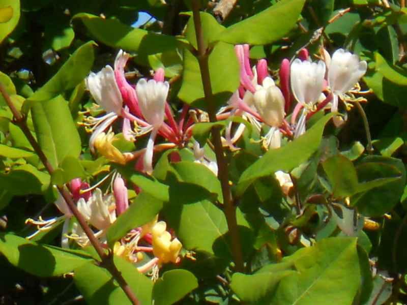 Lonicera periclymenum detalle flor 2