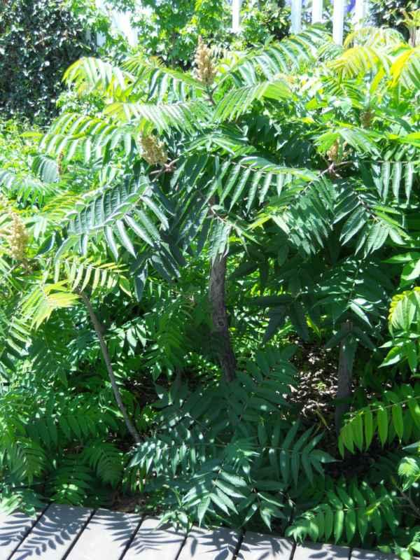 Rhus typhina 'Laciniata' v 1