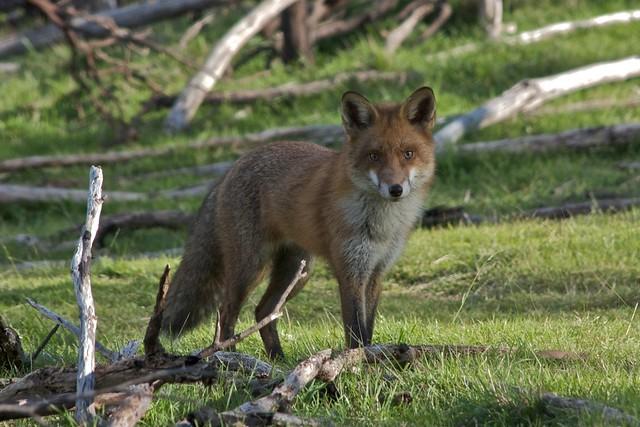 serendipity fox