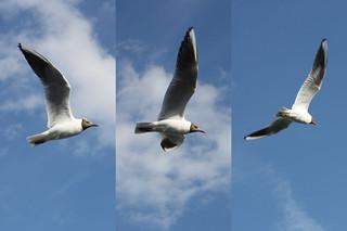 Larus ridibundus Fly Over | by Hexagoneye Photography