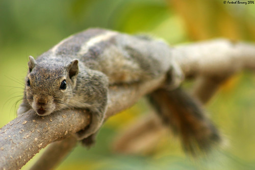 Three-Striped Palm Squirrel | by FartashPhoto.com