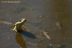 Garter Snake Hunting Tadpoles by Pregilla