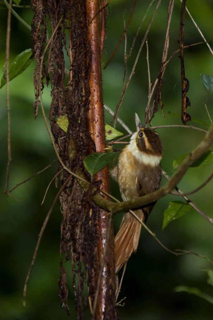 """White-collared Foliage-gleaner """" Anabazenops fuscus"""" Trepador-coleira"""