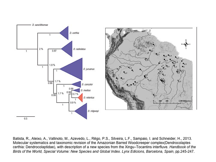 Batista et al. 2013. Amazonian Barred Woodcreeper (Dendrocolaptes certhia) complex
